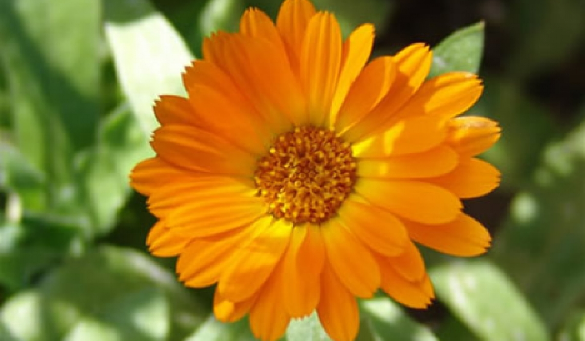 Györgytea Körömvirág (Calendula officinalis) - Györgytea gyógynövény leírás