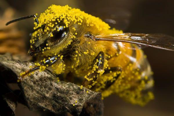 méh pollen a látáshoz csivava látomás