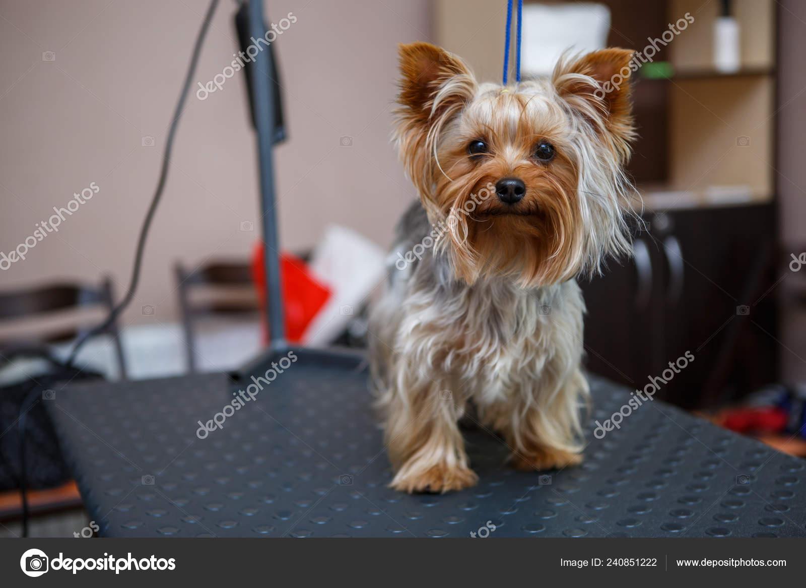 látvány yorkshire terrier rossz látási öröklődés