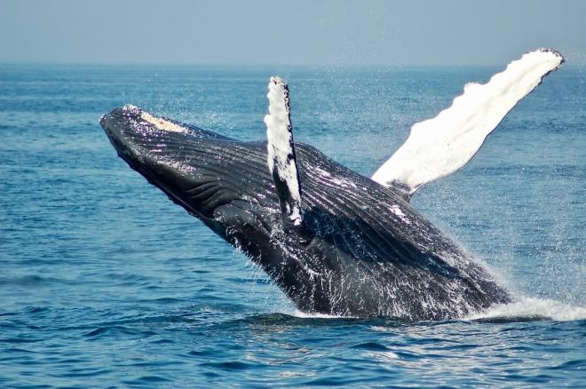 csíkos bálnák látásra