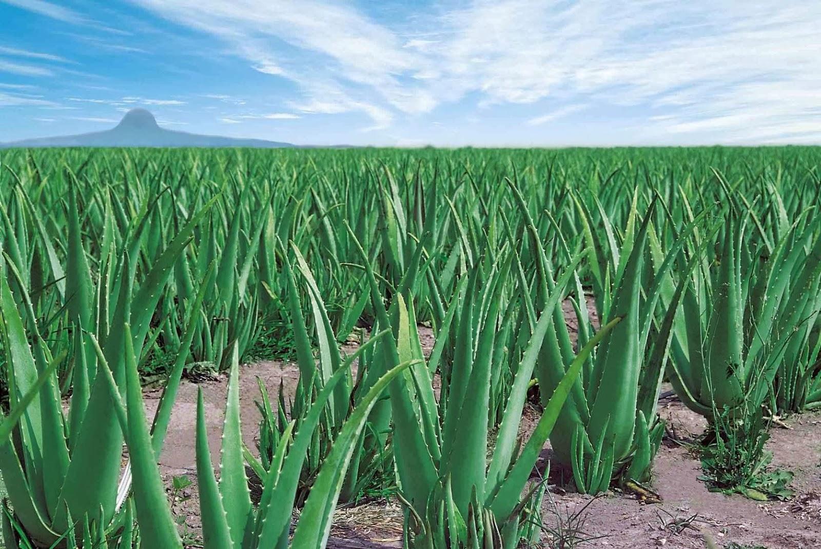69 kezelési forma Aloe Verával