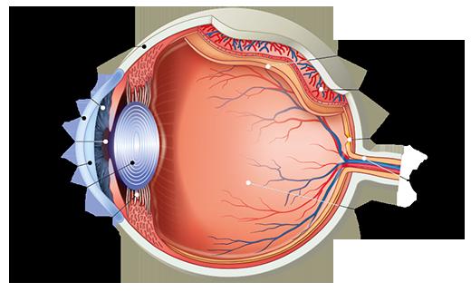szem látás jellemzői