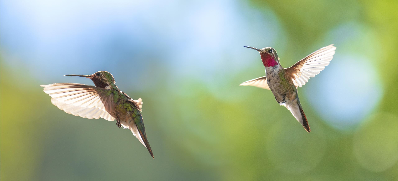 kolibri látás és hogyan