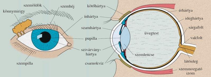 az agy és a látás érzékeli