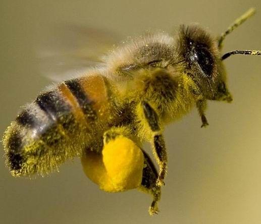 méh pollen a látáshoz hogyan színlelje a gyenge látást